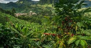 Cafetos en las laderas de las montañas alrededor de Jardín. / Foto Federico Ríos Escobar para The New York Time.