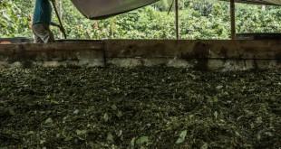 Una persona lava las hojas de coca, primero con gasolina y después con agua, para recopilar el extracto en barriles y después acidificarlo y mezclarlo con cemento. / Juan Arredondo para The New York Times.